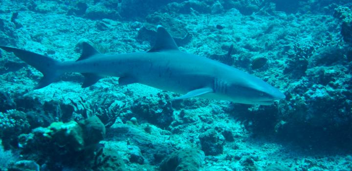 White Tip Shark Swimming