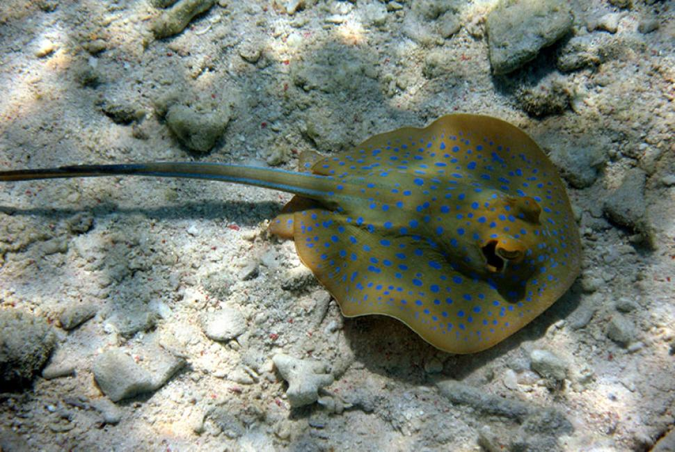 Blue Spotted Stingray