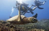 Hawksbill Turtle Open Water Training Dives