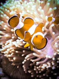 Clownfish in Gili Air