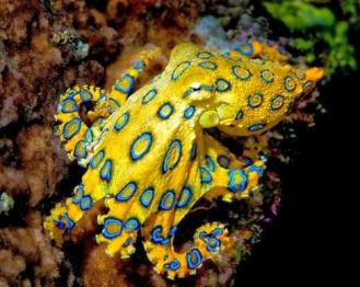 blueringed octopus