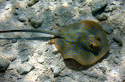 gili air spotted stingray